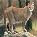 Animals & Idioms Cougar