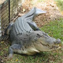 Animals & Idioms Crocodile