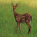 Animals & Idioms Deer
