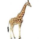 Animals & Idioms Giraffe
