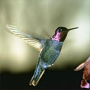 Animals & Idioms Hummingbird