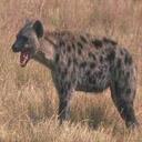 Animals & Idioms Hyena