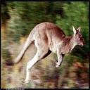 Animals & Idioms Kangaroo