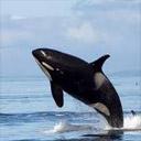 Animals & Idioms Killer%20whale