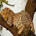 Animals & Idioms Leopard