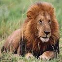 Animals & Idioms Lion