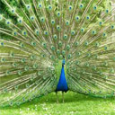 Animals & Idioms Peacock