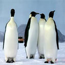 Animals & Idioms Penguin