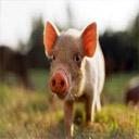 Animals & Idioms Pig