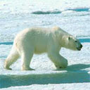Animals & Idioms Polar-bear