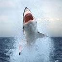 Animals & Idioms Shark