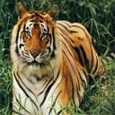 Animals & Idioms Tiger