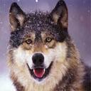 Animals & Idioms Wolf
